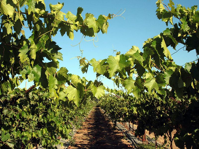 Blick durch zwei Pflanzreihen von Weinreben