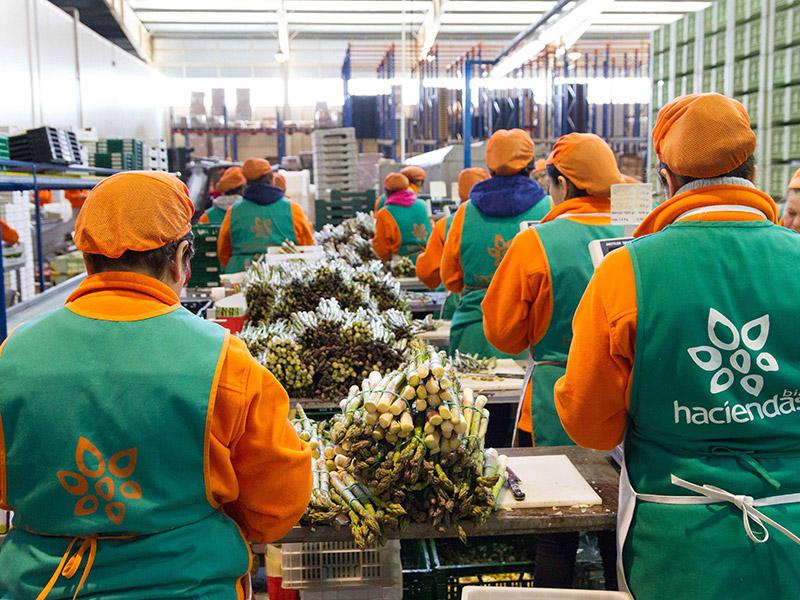 Mitarbeiterinnen und Mitarbeiter bündeln Spargel in einer Halle