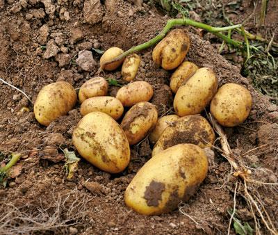 Kartoffeln liegen auf einem Acker