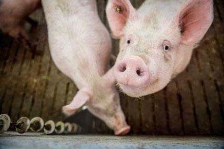 Bioschweine Gut Borken