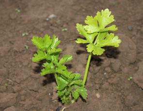 Saisongarten Pflanze