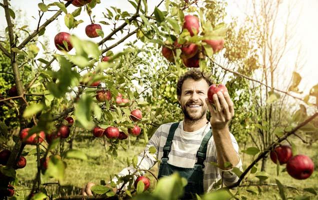 Frische Äpfel Bauer Baum