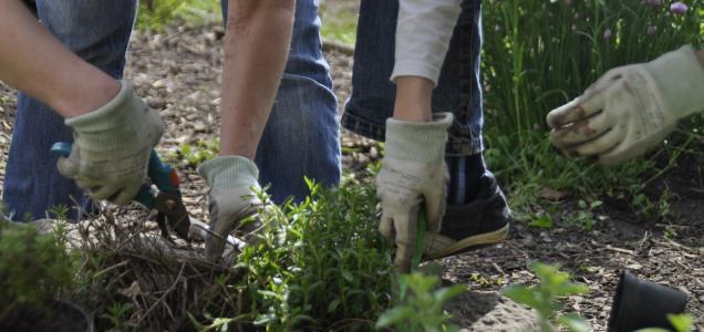 Hände Gärtnern Bohnenkraut
