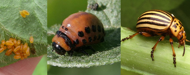 Kartoffelkäfereier, -larve und das ausgewachsene Tier