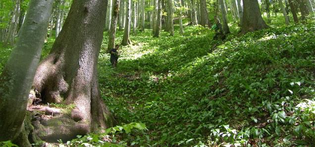 Baerlauch und Waldpflanzen auf einer Waldlichtung